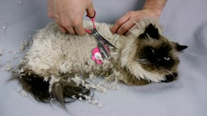 Grooming a Himalayan cat's back