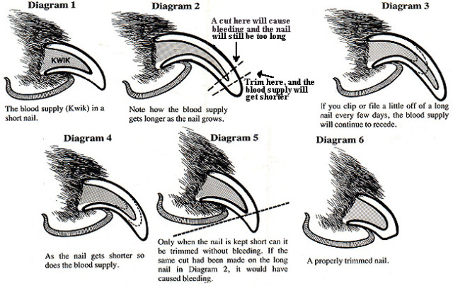 An infographic explaining the properway to clip a cat's nail.
