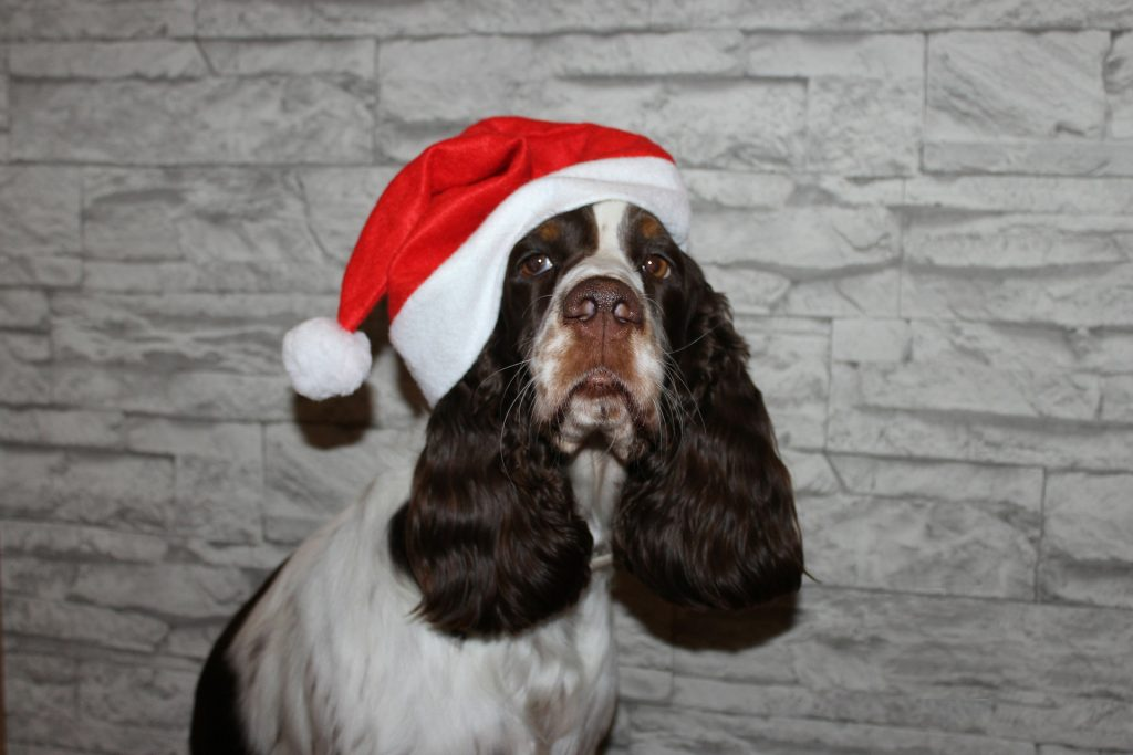 Spaniel wearing Santa hat with holiday stress