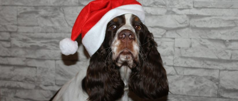 Spaniel with Santa hat on